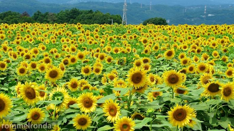 Akeno Sunflower Festival, Hokuto, Yamanashi (August 2010)