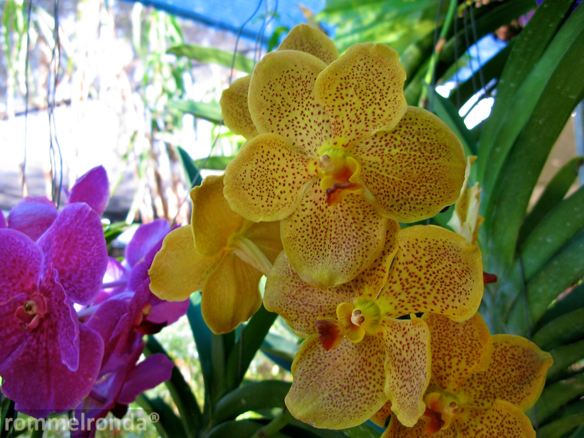 http://photobento.files.wordpress.com/2012/03/vanda-004.jpg
