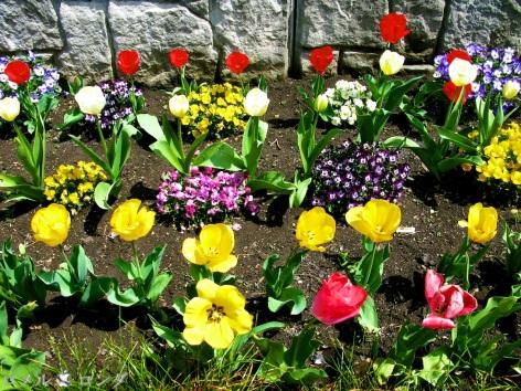 Tulips 003