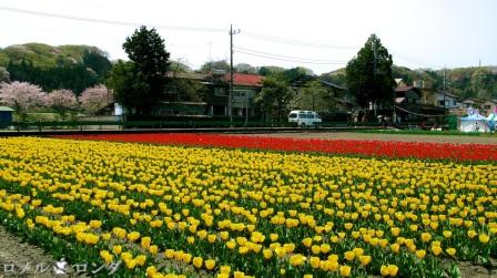 Tulips 004