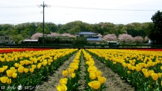 Tulips 005