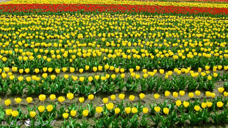 Tulips 007