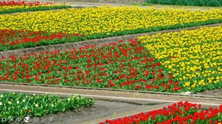Tulips 009