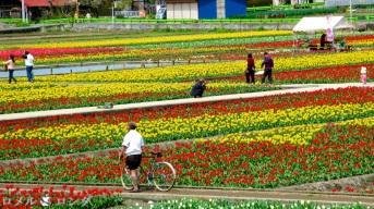 Tulips 012