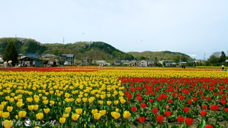 Tulips 014