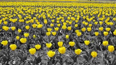 Tulips 015