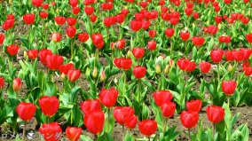 Tulips 016