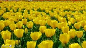 Tulips 018