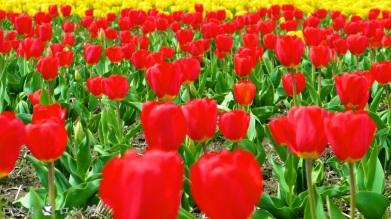 Tulips 019