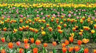Tulips 021