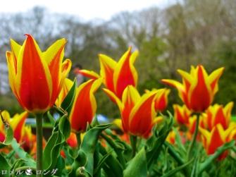 Tulips 028