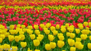 Tulips 029