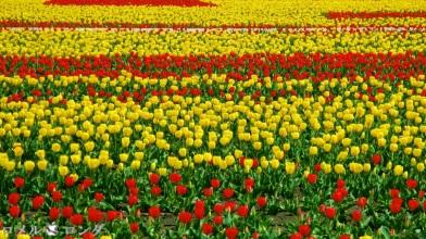 Tulips 034