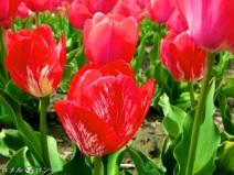 Tulips 035