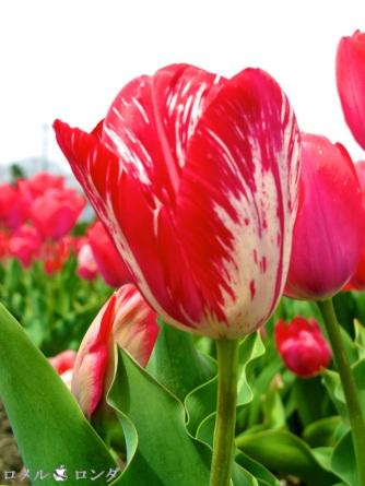 Tulips 036