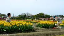 Tulips 038