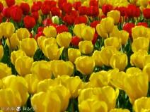 Tulips 039