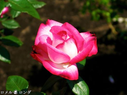 Rose 003