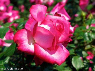 Rose 004