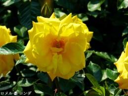 Rose 006