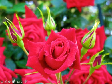 Rose 015