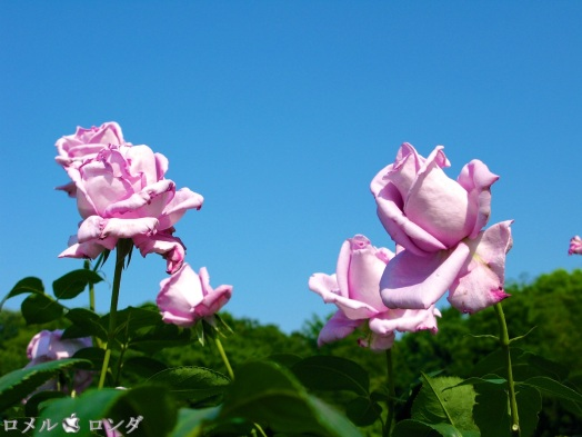 Rose 017