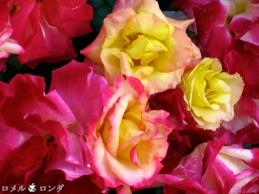 Rose 020