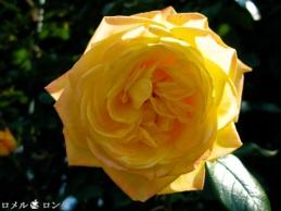 Rose 021