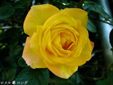 Rose 022