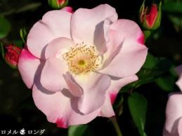 Rose 024