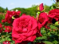 Rose 026