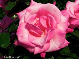 Rose 028