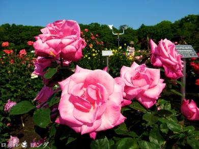 Rose 029