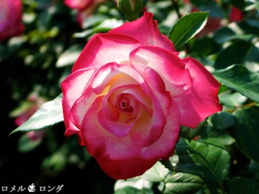 Rose 031
