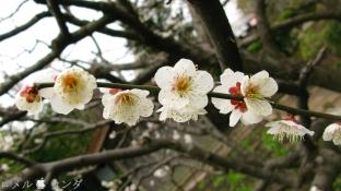 Plum Blossom 002