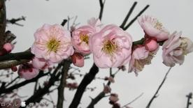 Plum Blossom 003