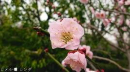 Plum Blossom 004