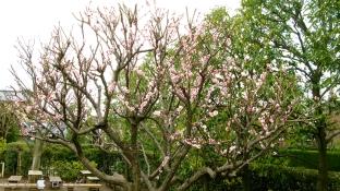Plum Blossom 005