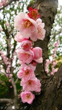 Plum Blossom 006
