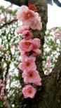 Plum Blossom 007