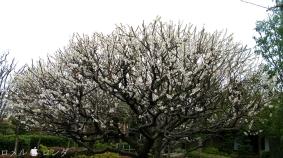 Plum Blossom 009