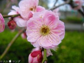 Plum Blossom 011