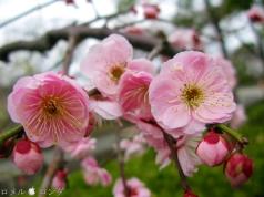 Plum Blossom 012