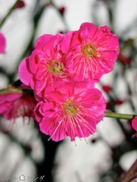 Plum Blossom 013