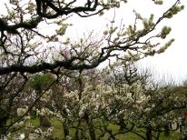 Plum Blossom 014