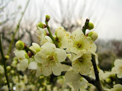 Plum Blossom 015