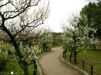 Plum Blossom 016