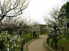 Plum Blossom 017