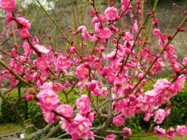 Plum Blossom 018