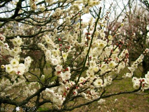 Plum Blossom 019